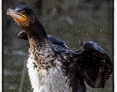 Cormorant and Sigma