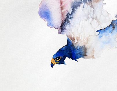 The hunting Peregrine falcon