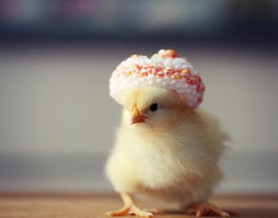 Chick Photo