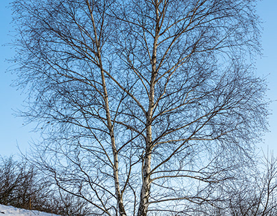 White birch on a hill