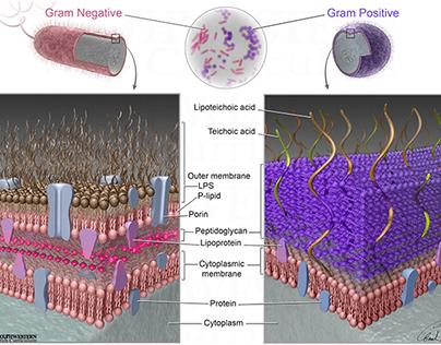 Gram+/- Bacteria