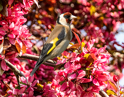 Goldfinch in blossom