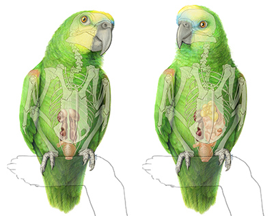 Urogenital system of the Blue-fronted Amazon