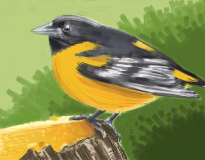 Baltimore Oriole - male