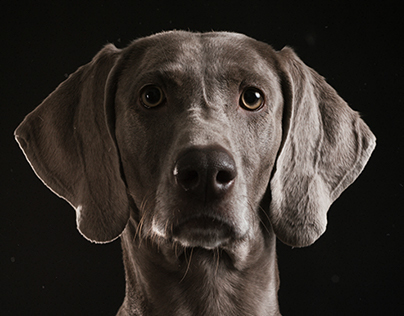 WEIMARANER DOG PORTRAITS / PHASE ONE IQ 250