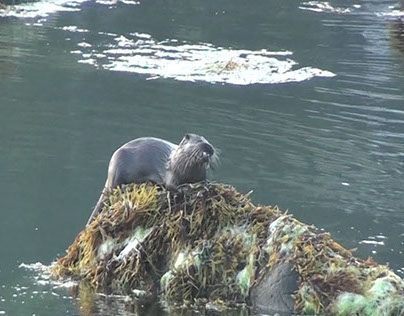 Otters of Seil