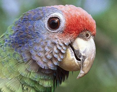 folder papagaio-de-cara-roxa