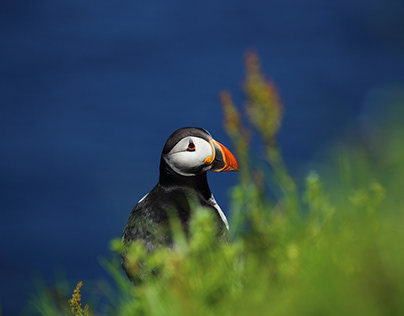 Puffins from Mikines - Faroer