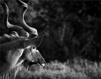 DHPhotography The Eastern Cape Kudu