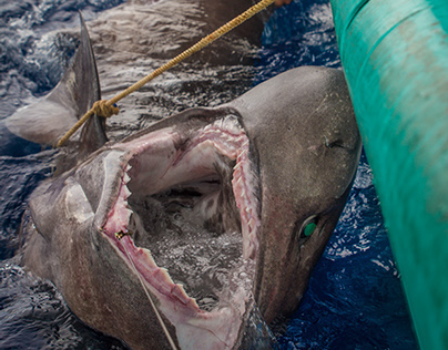 「Bluntnose sixgill shark」の画像検索結果