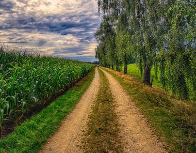 Walk along an avenue of birch trees