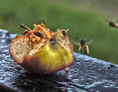 Apple and Wasps - Nature Morte Vivante