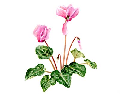 Botanical illustration of Cyclamen in watercolour