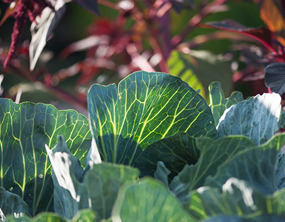 Glowing Cabbage Leaves