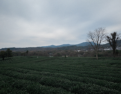 Sea of green tea