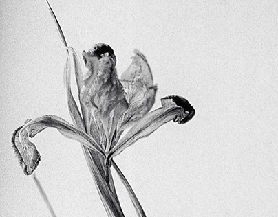 Dried irises. Beauty after death.
