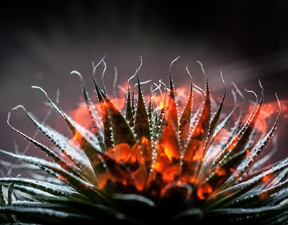 burning cactus/