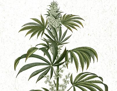 Cannabis sativa illustration by ink