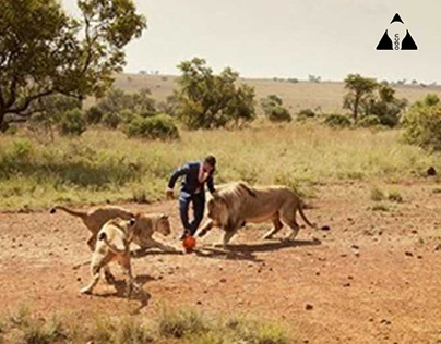 Playing football with wild lions