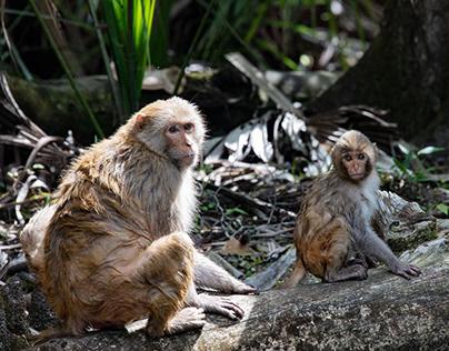 Florida Macaques