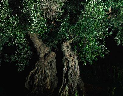 Olive trees of Apulia