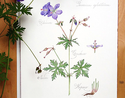 Geranium sylvaticum. Watercolor illustration