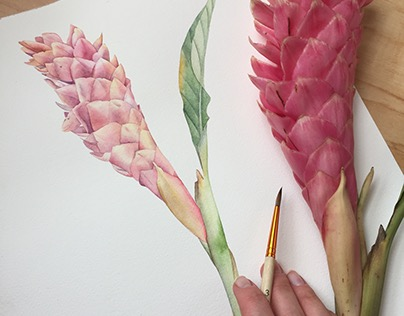 Red Ginger Flower. Botanical watercolor illustration.