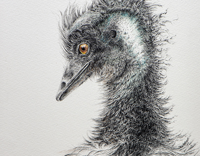 Pencil drawing and watercolor - emu