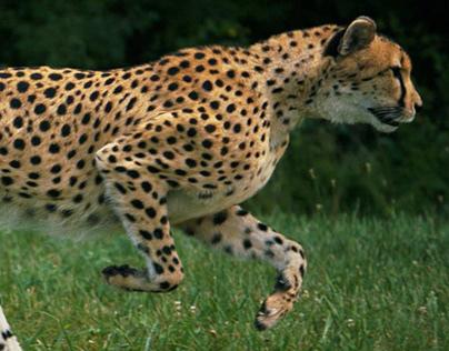 Animals 101: Cheetahs