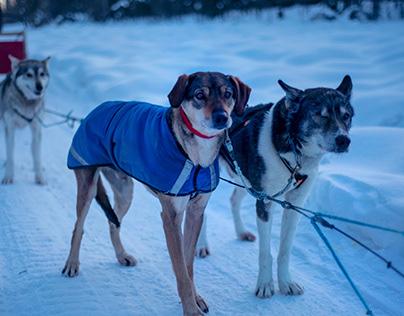 Alaska Dog