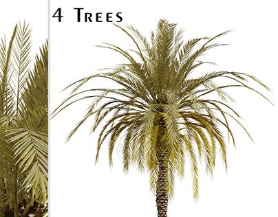 Set of Phoenix dactylifera Palm trees (Date Palm)