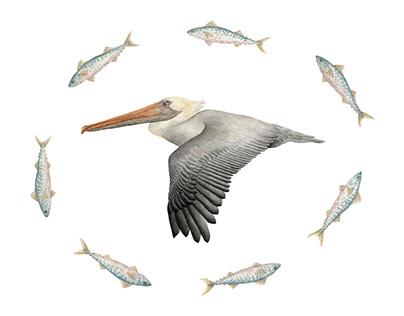 Brown Pelican & Atlantic Spanish Mackeral