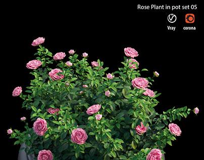Rose plant in pot set 05