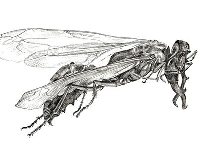 Scientific Illustrations Wasps