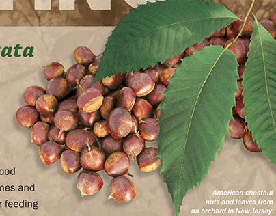 American Chestnut Planting