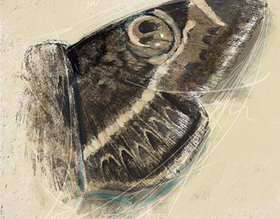 Owl moth study