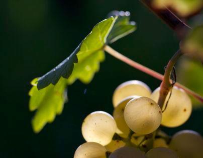 Grapes & vineyards, Switzerland