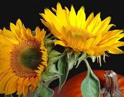 The Life of a Sun Flower