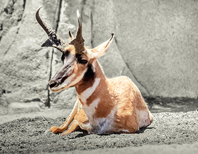 Lonely Pronghorn