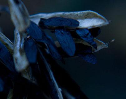 Seeds of Hosta