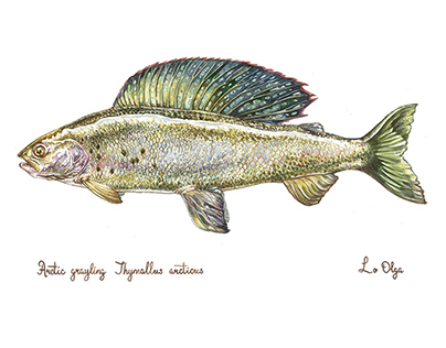 Different types of fish in watercolors