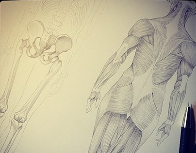 Anatomy drawings