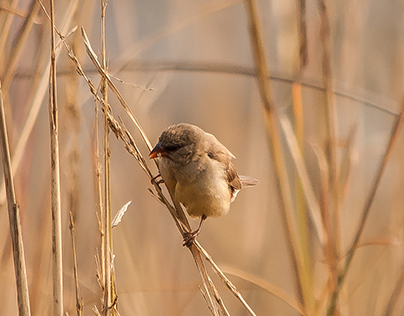 that determined little finch…