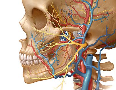 neurovascular anatomy of TMJ