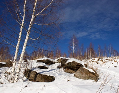 birch trees on the rock