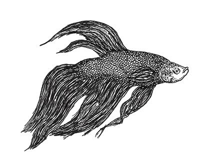Siamese Fighting Fish // Betta