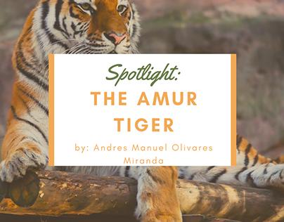 Spotlight: The Amur Tiger