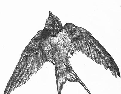 bird earwig