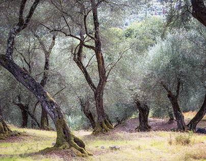 OliveTrees in Corfu/Greece.