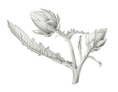 Artichoke, botanical art in graphite